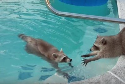 Critters in the swimming pool